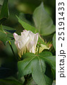 アメリカ綿の花 25191433