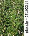 アメリカ綿の畑 25192214