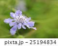 スカビオサ 松虫草 花の写真 25194834