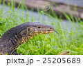 close up Water monitor lizard 25205689