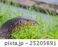 close up Water monitor lizard 25205691