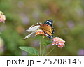 石崖蝶 タテハチョウ科 蝶の写真 25208145