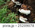 猿の腰掛け 菌類 植物の写真 25209078