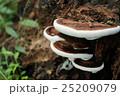 猿の腰掛け 菌類 植物の写真 25209079