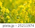 菜の花 25211974