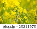 菜の花 25211975
