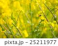 菜の花 花 春の写真 25211977