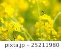 菜の花 25211980