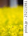 菜の花 25211981