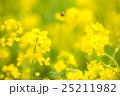 菜の花 花 春の写真 25211982