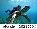 アオウミガメ 海中 亀の写真 25219208