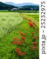 ヒガンバナ(彼岸花) 25232975