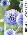 ヒゴタイの花 25233817