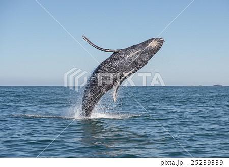 Whale having fun. 25239339