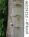 サンインマイマイ でんでん虫 かたつむりの写真 25242296