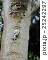 サンインマイマイ でんでん虫 かたつむりの写真 25242297
