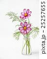 コスモスの花 25257655