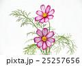 コスモスの花 25257656