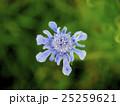 松虫草 花 スカビオサの写真 25259621