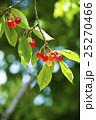 木になるサクランボ 25270466