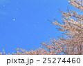桜吹雪 桜 花びらの写真 25274460