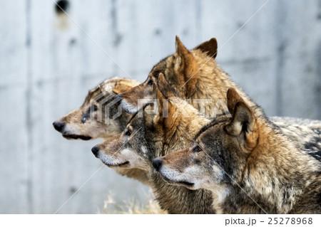 狼たち 25278968