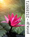 ハナ 咲く 花の写真 25289071