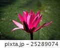 ハナ 咲く 花の写真 25289074