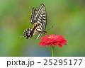 揚羽蝶と百日草 25295177