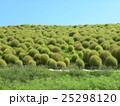 コキア こんもり樹形 みはらしの丘の写真 25298120