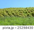 コキア こんもり樹形 みはらしの丘の写真 25298430