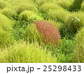 コキア こんもり樹形 秋の写真 25298433