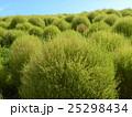 コキア こんもり樹形 みはらしの丘の写真 25298434