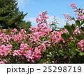 夏の花の代表格サルスベリの桃色の花 25298719