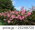 夏の花の代表格サルスベリの桃色の花 25298720