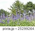 ひたち海浜公園の花壇の青いサルビアの花 25299264