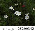 秋の花コスモスが沢山咲いています 25299342