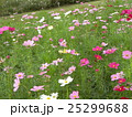 赤や白やピンクの秋の花コスモスが沢山咲いています 25299688