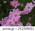 ピンクの秋の花コスモスが沢山咲いています 25299691
