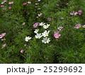 赤や白やピンクの秋の花コスモスが沢山咲いています 25299692