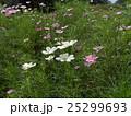 赤や白やピンクの秋の花コスモスが沢山咲いています 25299693