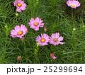 ピンクの秋の花コスモスが沢山咲いています 25299694