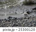 検見川浜で朝の給餌中のミユビシギ 25300120