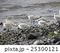 検見川浜で朝の給餌中のミユビシギ 25300121