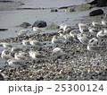 検見川浜で朝の給餌中のミユビシギ 25300124