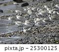 検見川浜で朝の給餌中のミユビシギ 25300125
