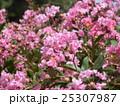 夏の花の代表格サルスベリの桃色の花 25307987
