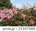 夏の花の代表格サルスベリの桃色の花 25307988