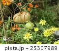 ホウズキのような緑色の実はフウセンカズラの未熟な実 25307989