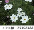 秋の花コスモスが沢山咲いています 25308388